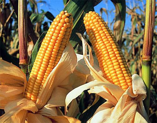 producción de maiz