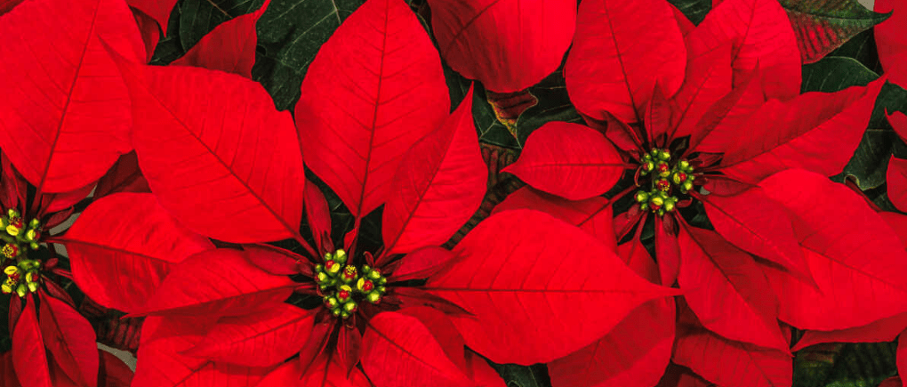 Las Poinsettias, flores de navidad en Guatemala