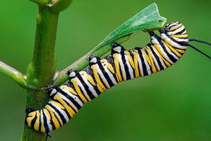 insectos que estan en peligro de extinción